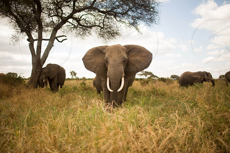 photography of a gray elephant staring at the camera with stratocumulus clouds photo