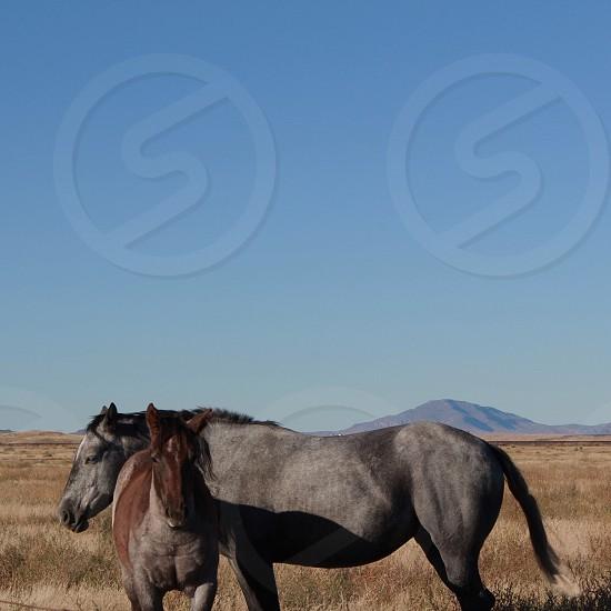 Wild horses in West Texas photo