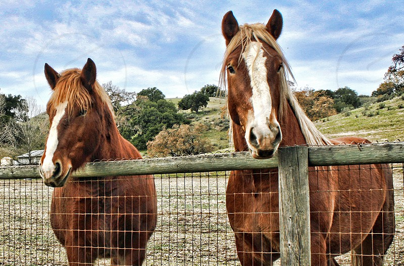 Two chestnut horses with white blazes on their noses look over a fence of a corral. photo