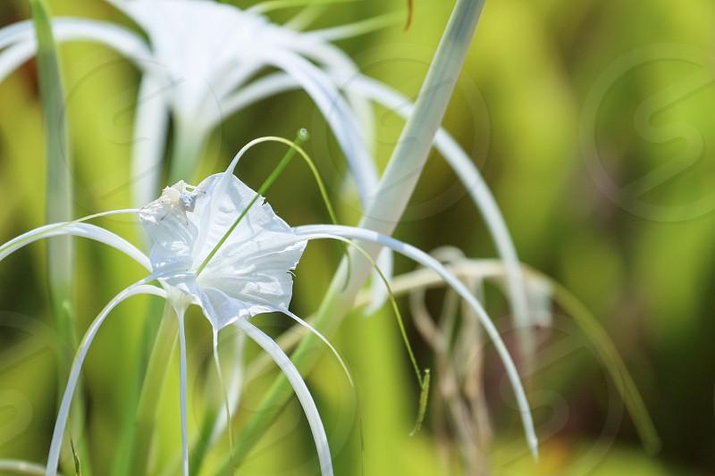 Flowers Crabspider photo