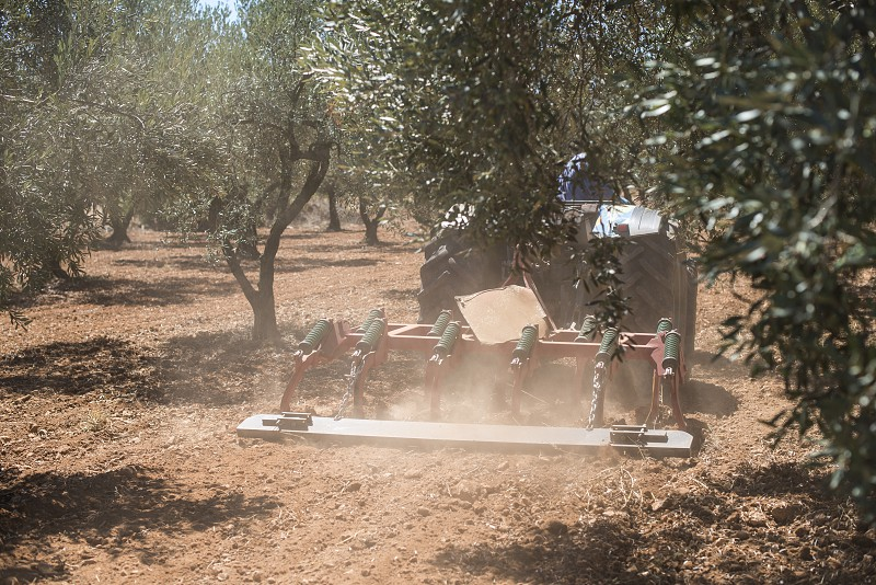 Tractor and olive trees. Plowing the land photo