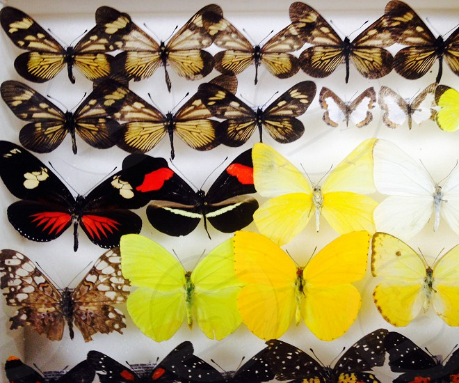 Butterflies from the jungle of Belize photo