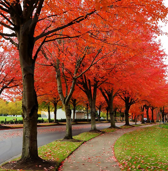 fall autumn foliage leaves red leaves changing color photo