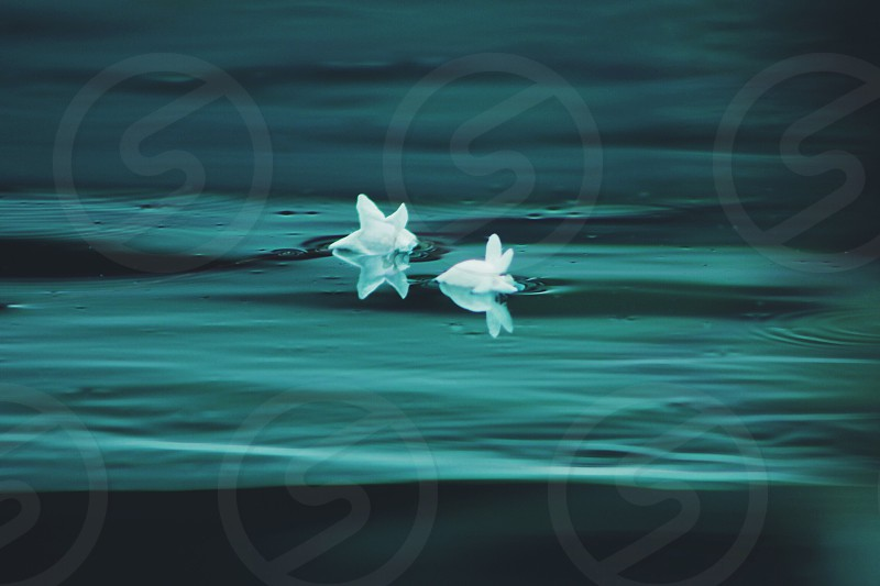 2 white petaled flowers floating on water photo