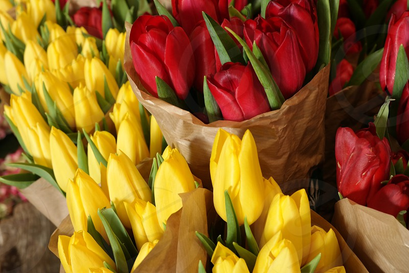 Red yellow tulips photo