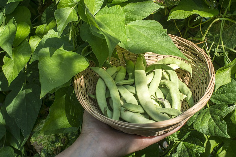 String bean in a bowl. Green garden. Bulgaria photo