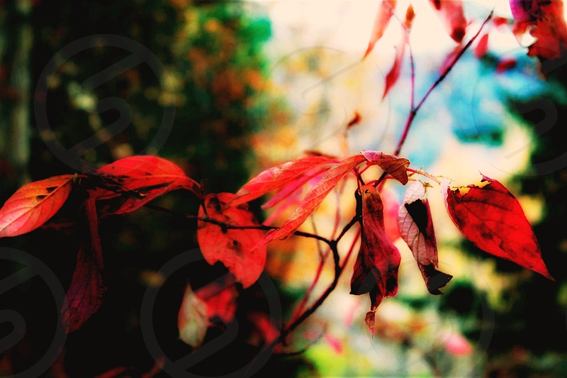These bright red leaves creates a ruby splash of color among the usual autumn shades of yellow and green.  photo