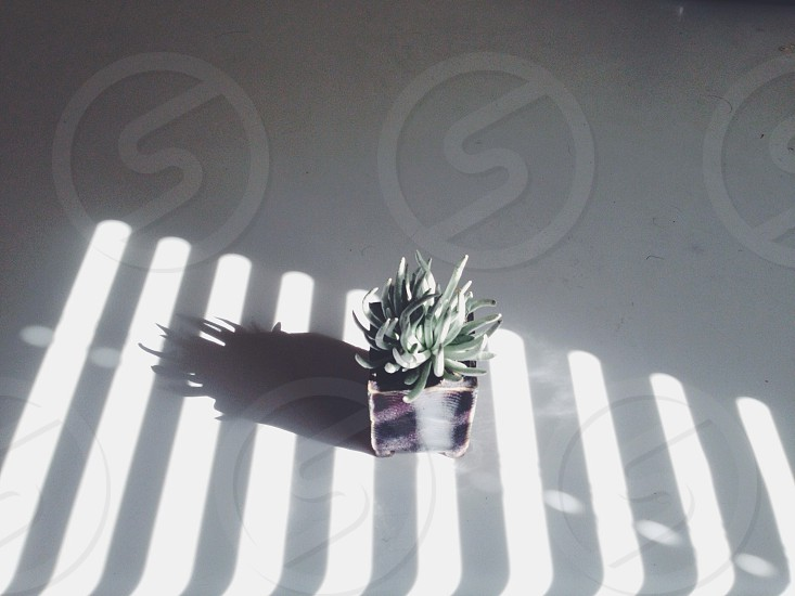 green aloe vera plant photo