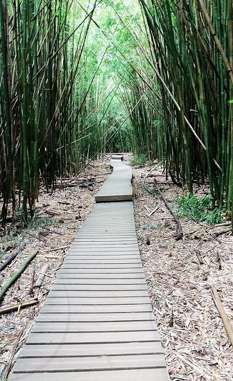 Maui. Bamboo Forest.  photo