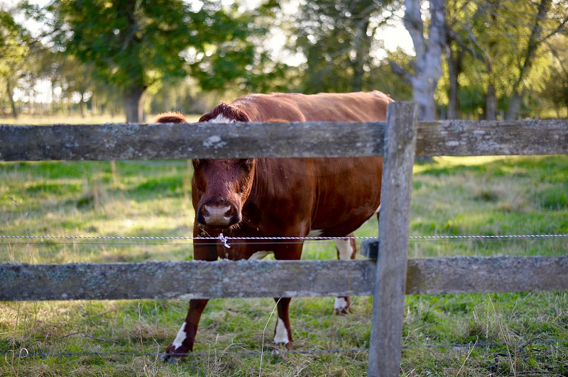 brown cow standing near brown wooden fence during daytime photo