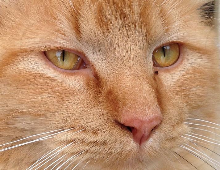 orange tabby cat photo