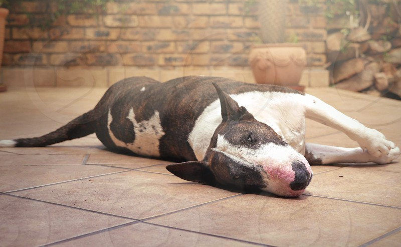 Happy bull terrier dog lying on porch in the summer sunlight photo