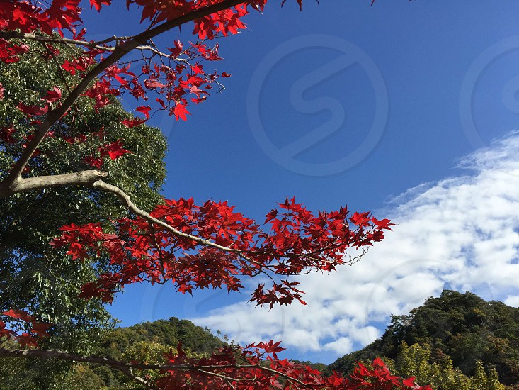 closeup photo of maple tree photo