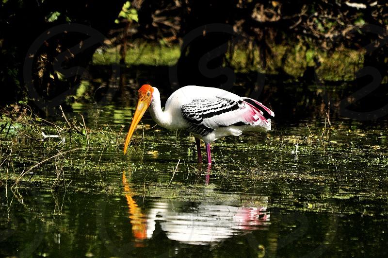 Painted Stork photo