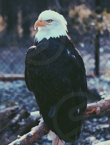 black and white eagle photo