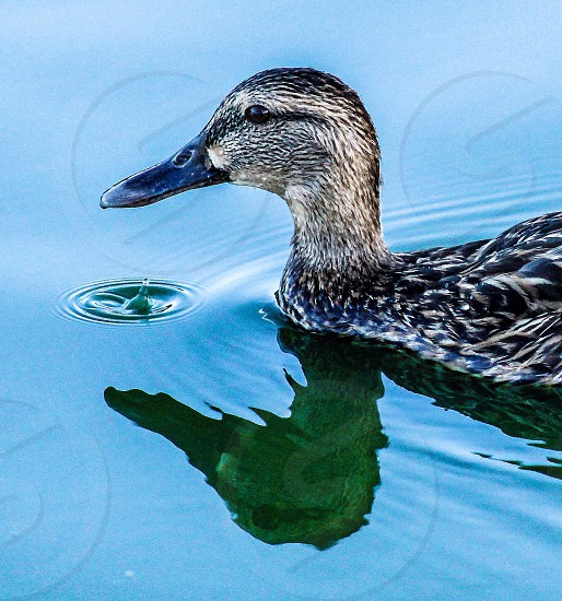Animal nature duck bird water drop reflection photo