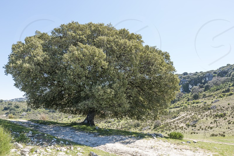 singale big tree in the mountains from andalusia near zuheros photo