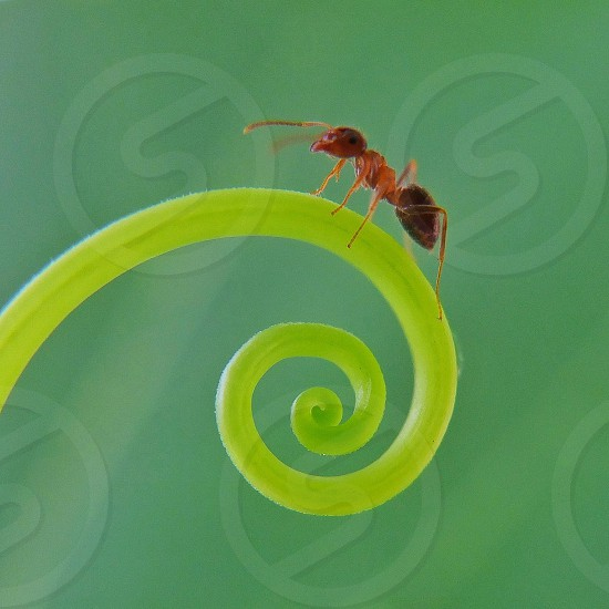 brown ant in leaf photo