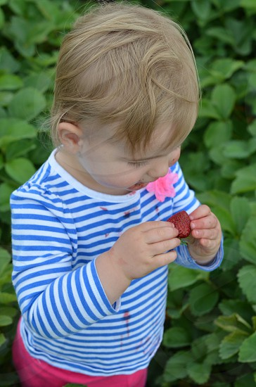 Child eating strawberry in strawberry patch farm life country rustic lifestyle  photo