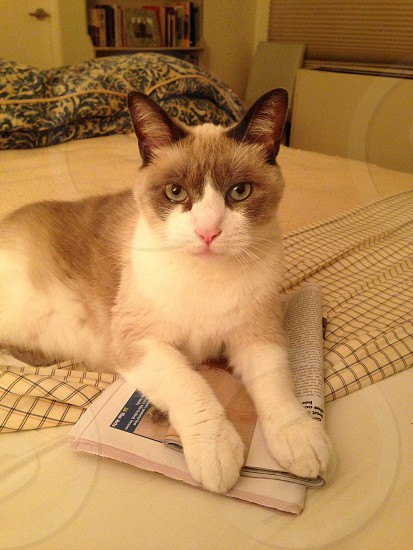 This cat is a snowshoe breed. His name is Gus.  photo