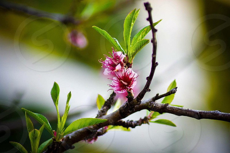 selective focus photography of pink petaled flower on green leaf tree during daytime photo