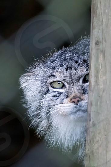Pallas's cat (Otocolobus manul) photo