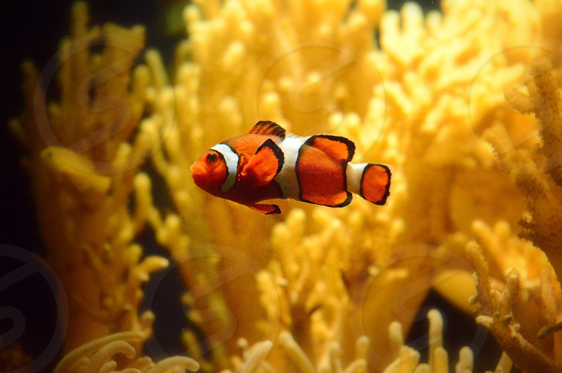 clown fish swimming photo