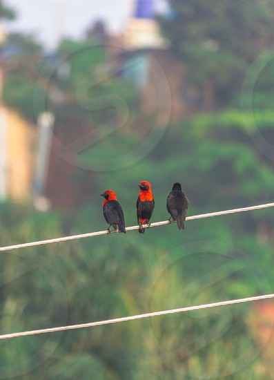three little birds hanging out photo