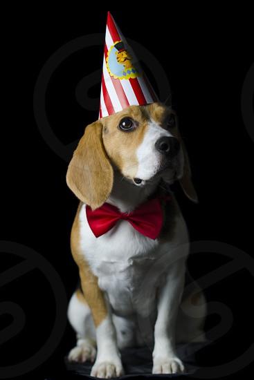 beagle celebrates birthday photo