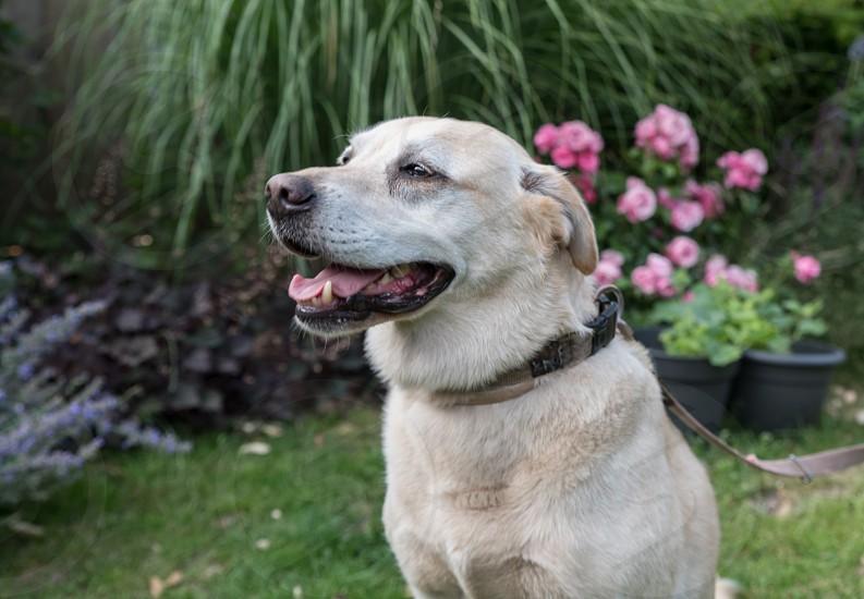 labrador dog closeup pet photo