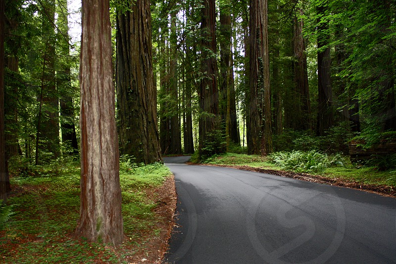 Empty road going past redwoods in the Redwood National Forest. photo
