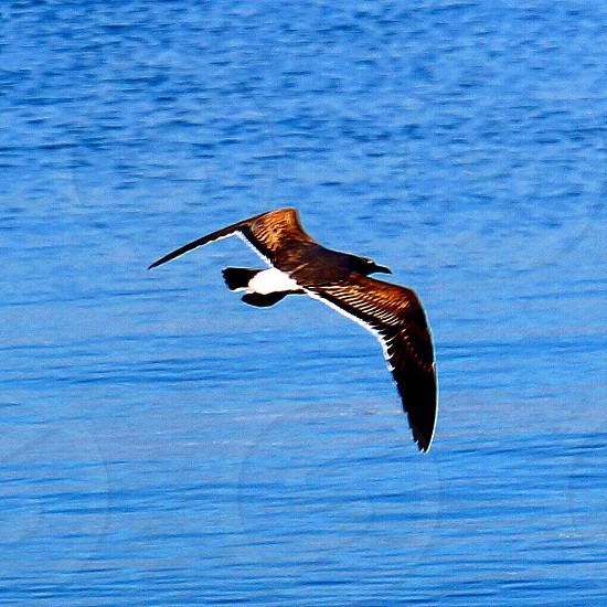 brown and white bird soaring on sky photo