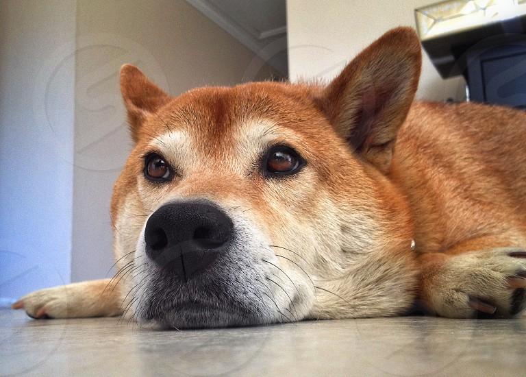 brown dog lying on floor photo