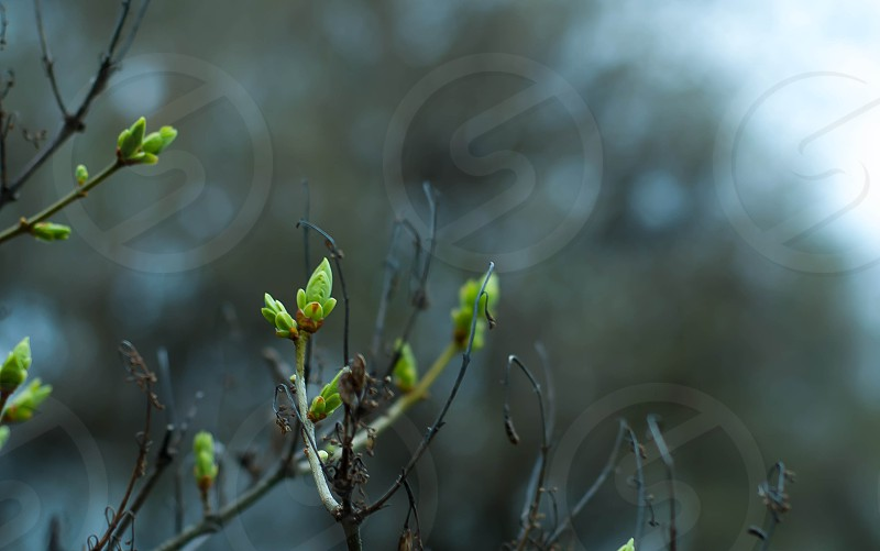 spring buds found on a bush in the 'burbs of the twin cities photo