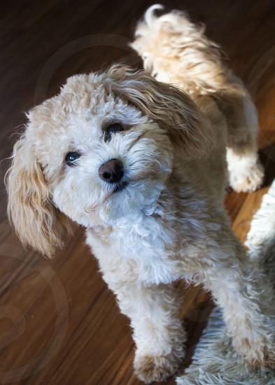 Dog puppy Bichon Poodle photo