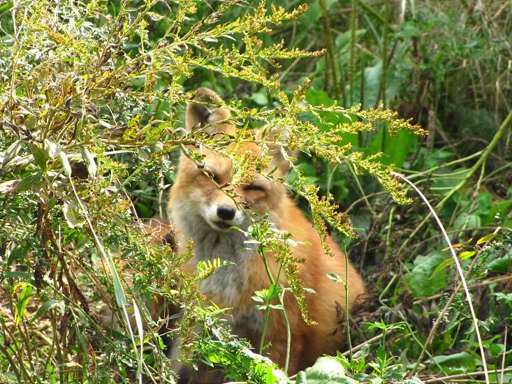 Peaking Fox photo