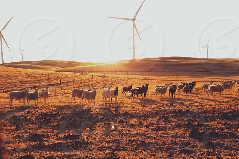 flock of black and white sheep on muddy hillside in brown grass with wire fence and wind turbines against bright sky photo