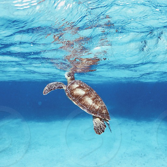 brown turtle swimming photo