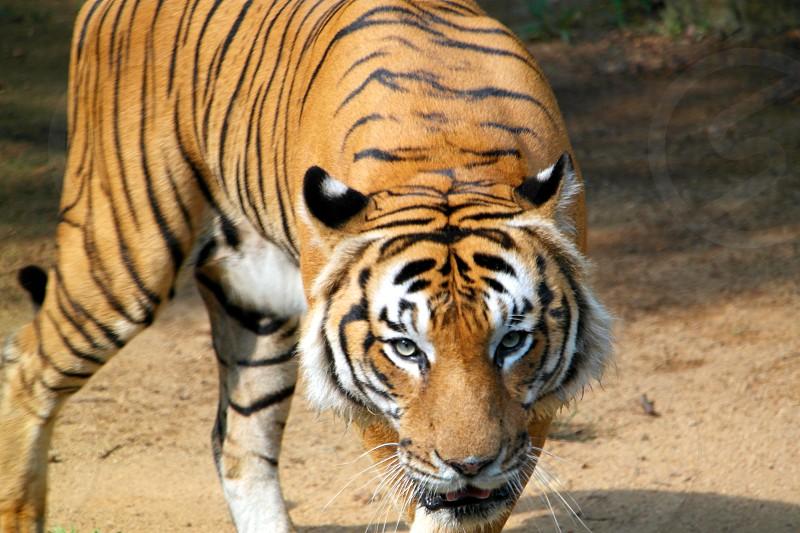 tiger lowering head staring photo