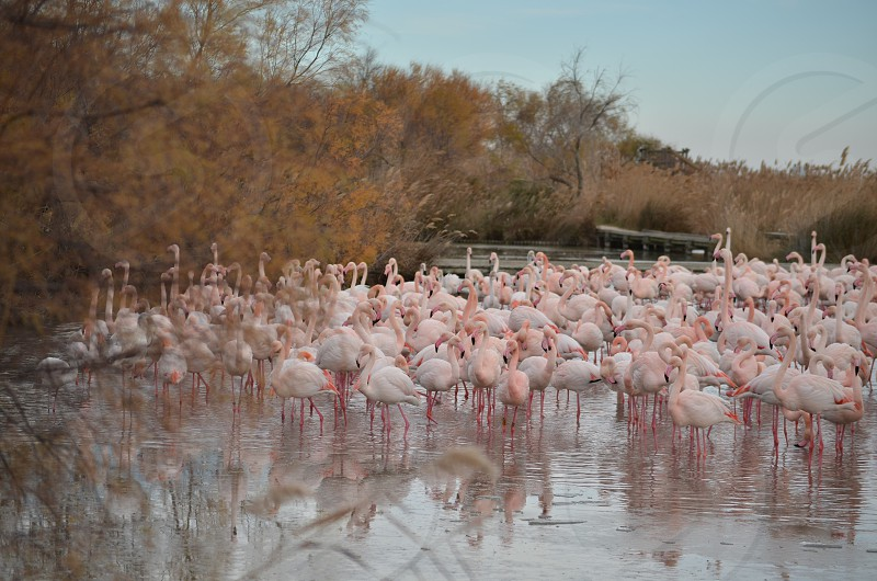 Flamingos in Camargue France. photo