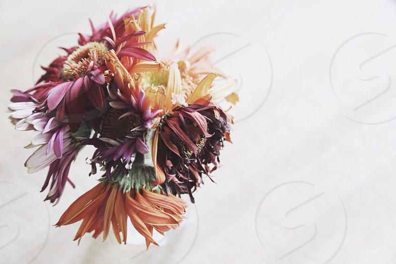 purple zinnia flower photo