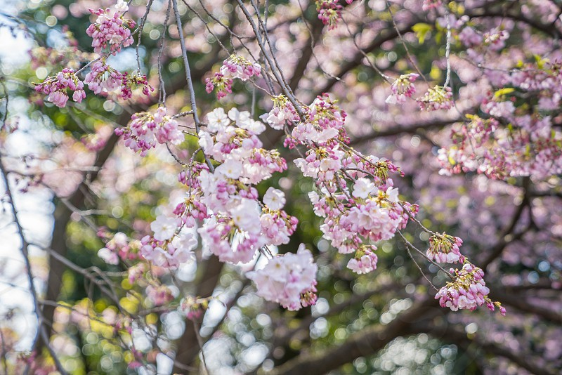 Shinjuku Tokyo Japan - April 02 2017: Shinjuku Gyoen National Park during early cherry blossom (sakura hanami). It is one of the most famous place to view sakura flower photo
