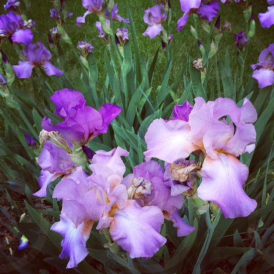 Purple iris photo