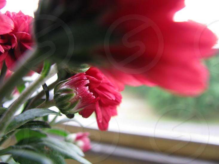Flower mum red photo