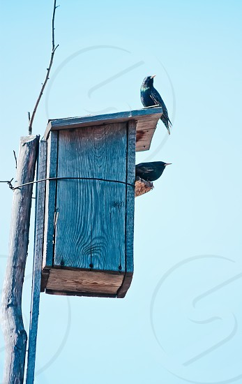 Bird wooden nest box and  two starlings photo