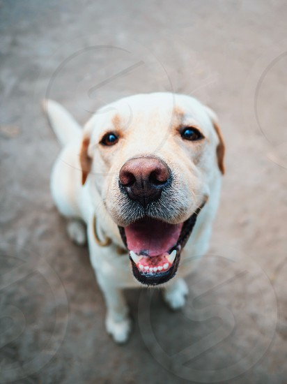 Beautiful adult golden labrador dog. Doggy smiling. He's feeling hot at summer. photo