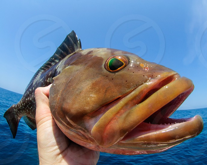 A fish-eye of a fish-eye.  A red grouper caught while fishing in the Gulf of Mexico. photo