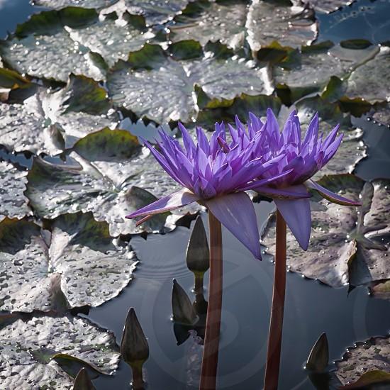 purple lily photo