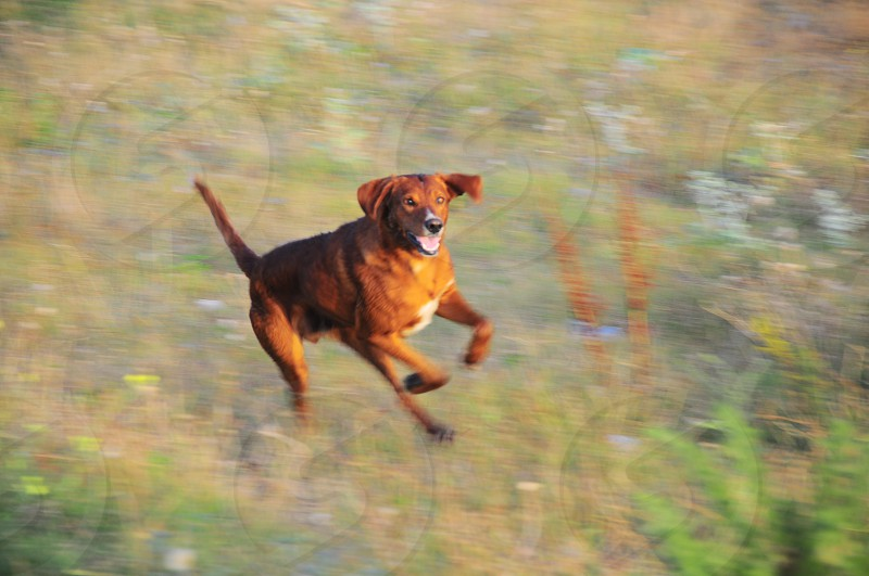red brown short-hair large dog running through grassy field photo