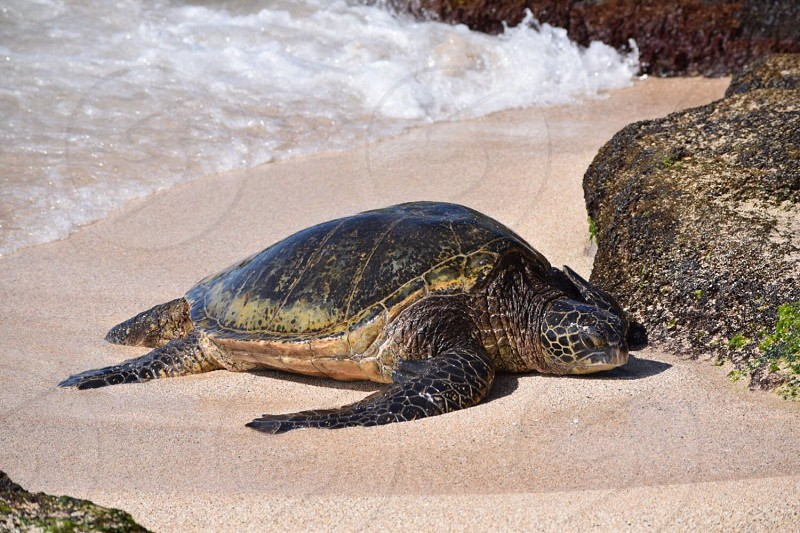 Say Aloha to my turtle or honu friend! Turtles are very peaceful creatures that soar in the water like birds and sun bathe in the sun like seals.  photo